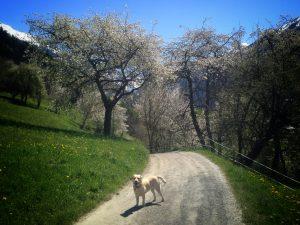 Labrador Retriever on mountain walk in spring