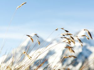 Long grasses in front of snowy mountains