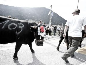 Cow at the Raclette Festival in Verbier